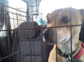 Gorgeous red staffie cross needs urgent caring foster home