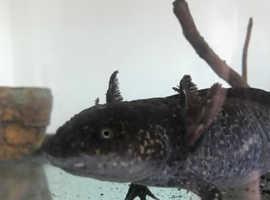 Female wild type axolotl