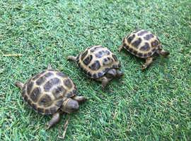 Tortoise (Horsefield)