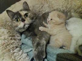 B.S.H. kittens. ONLY 1 CREAM BOY LEFT !