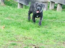 Clay the blue cane corso