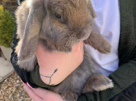 Young female lop for sale