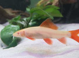 Albino rainbow fish