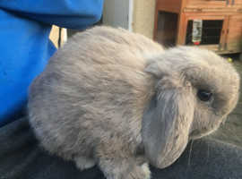 2 Pure Dwarf Lops & 4 Pure Netherland Dwarf babies for sale