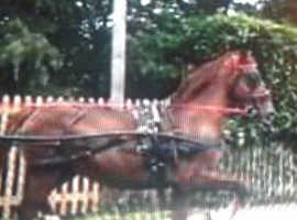 Hackney stallion