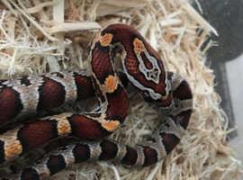 4 Month Old Corn snake