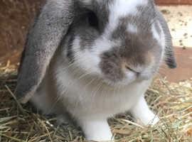 Mini lop baby rabbits