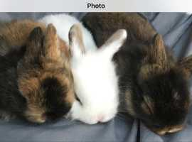 adorable dwarf lion head x lop baby bunnies for sale
