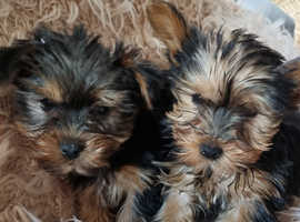 3 beautiful Yorkshire terrier puppies