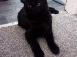 1 black pure kitten