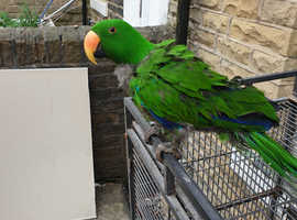 Eclectus male