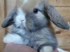 wanted to buy mini lops rabbits for grandbairns