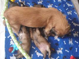 Lhasaneze puppies
