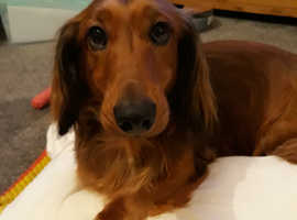 Female standard longhaired dachshund
