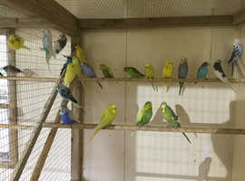 Budgies For Sale & Rehome uk | Find Birds For Sale & Rehome