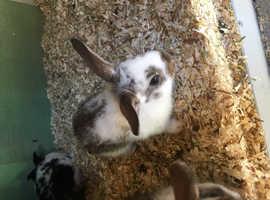 Litter of 7 baby rabbits