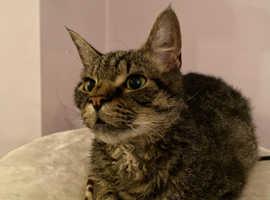Laprem/Bengal 10 month Kitten, Neutered