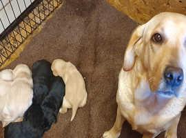 Black and Yellow KC Reg Lab pups