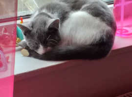 Blue and white female cat for sale 6 months old