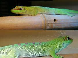 Phelsuma grandis (giant madagascan day gecko)