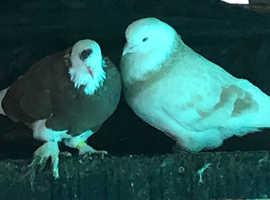 West England pigeons
