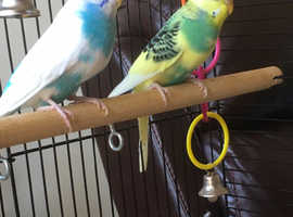 2 female budgies approx 12 months old