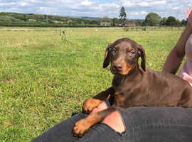 KC Registered Dobermann Puppies for sale ready to go to there forever homes