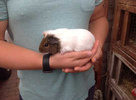 Male and female guinea pigs for sale, ready now