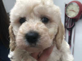 miniature golden doodle pups due in a week, pra clear and health checked