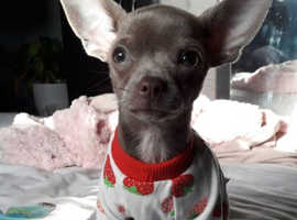 Chihuahua for stud