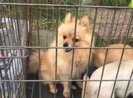 Pomeranian and a chuwawa