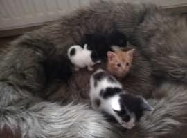 3 Beautiful blue eyed girls and 2Beautiful blue eyed boys . Munchkin Kittens