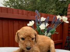 Stunning labradoodle puppies