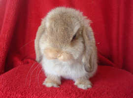 Gorgeous Pure Mini Lop Rabbits
