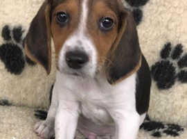 Stunning litter of Beagle pups available
