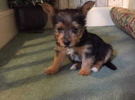 Yorkshire terrier and Jack Russell