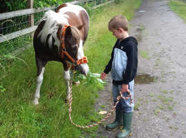 Shetlandxdartmoor 11 2 hds ponyfor sale