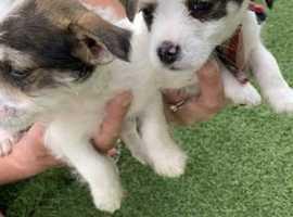 2 beautiful jackapoo puppy's