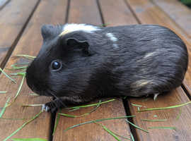 Two guinea pig sows