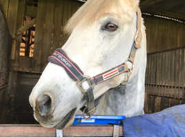 14.1 10 year old gelding for loan