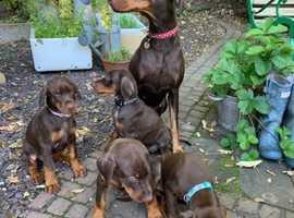 4 Brown Girl Dobermann Puppies