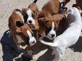 Boxer pedigree puppies