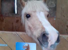 Stunning Welsh Sec A Gelding.. Barbie Pony!