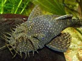 WANTED , Rusty pleco or Bristlenose Plecostomus