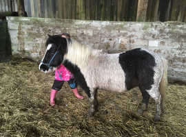 Miniature Shetland Companion Pony