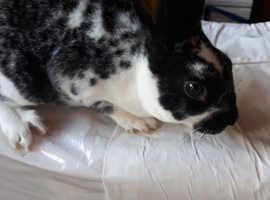 Mini rex rabbits  W