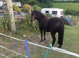 Beautiful black 3 year old registered Dartmoor gelding