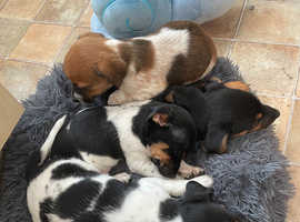 Ready to leave now! - Jack x Chi pups