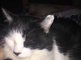 Male Black & White Neutered Cat