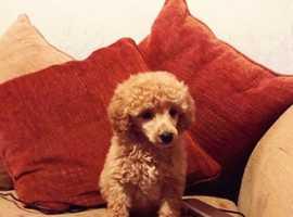 Poodle puppy's